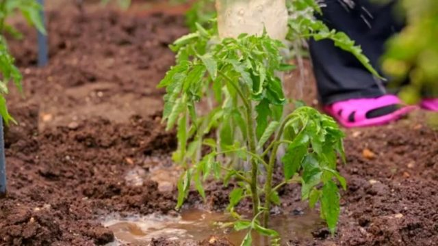 Подкормка помидоров навозом: нормы, правила внесения + советы огородников