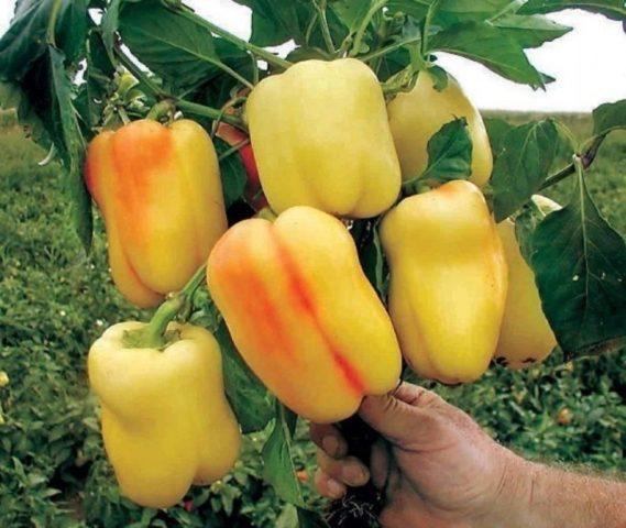 Мочевина как удобрение для перца: рецепты + полезные советы