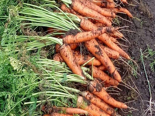 Морковь посадка и уход в открытом грунте подкормка золой