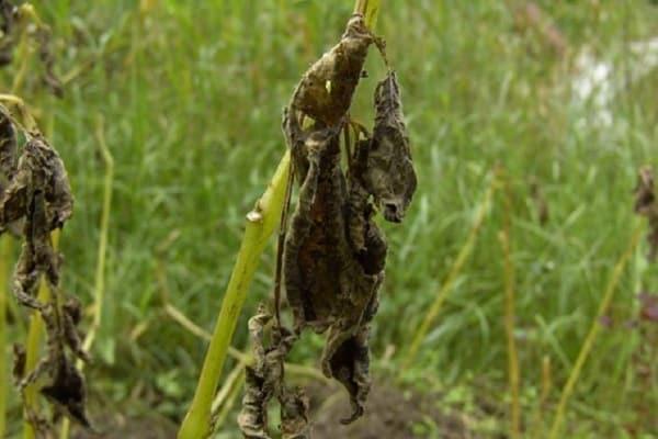 Почернела ботва у картошки: почему произошло и как спасти урожай