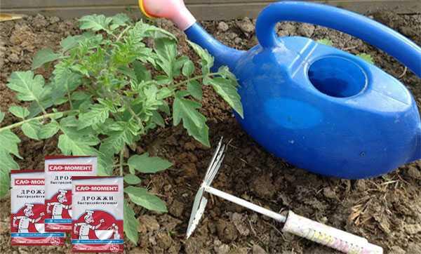 Подкормка помидоров дрожжами - буйный рост и обильное плодоношение без химии