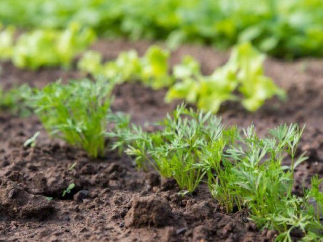 Правильные удобрения для моркови и свеклы: основа богатого урожая