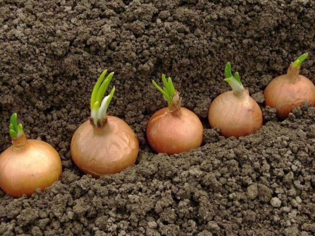 Подкормка лука севка для хорошего урожая: сроки, этапы, умные советы