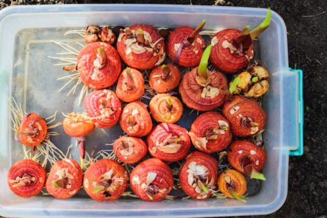 Чем обработать луковицы гладиолусов перед посадкой: дачная шпаргалка