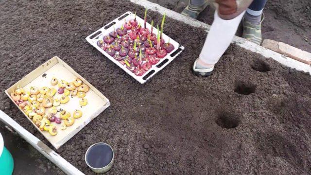 Посадка гладиолусов в Сибири: секреты и хитрости опытных цветоводов