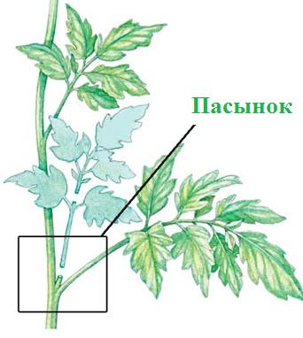 Что делать, если у помидоров скручиваются листья лодочкой