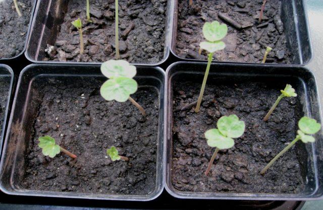 Солнечная настурция: правила выращивания из семян в домашних условиях