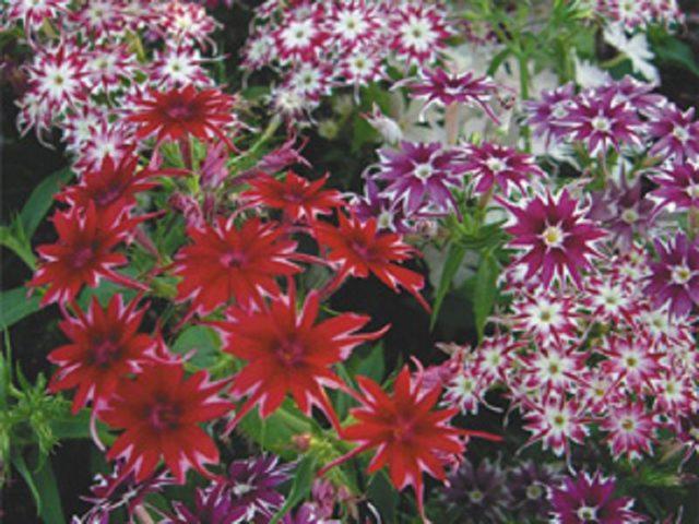 Флокс однолетний: тонкости выращивания пламенного цветка из семян + фото