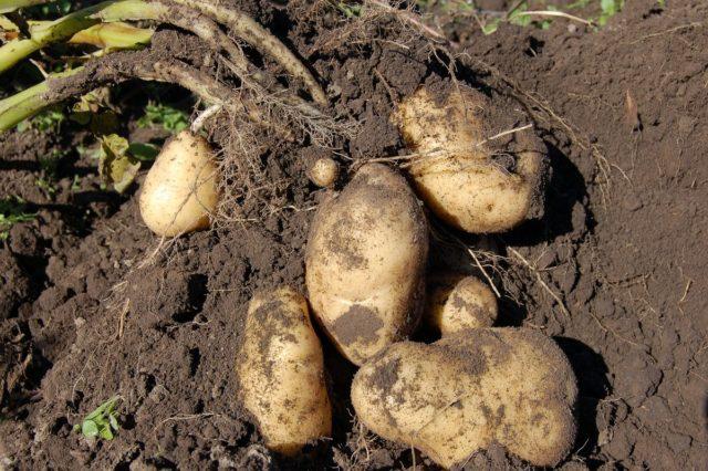 Когда копать молодую картошку: советы и рекомендации по уборке