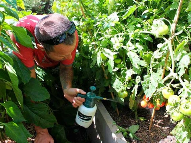 Подкормка помидоров борной кислотой: как увеличить объем урожая за копейки