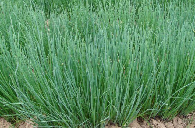 Удобрение для лука на перо: советы бывалых огородников для завидного урожая