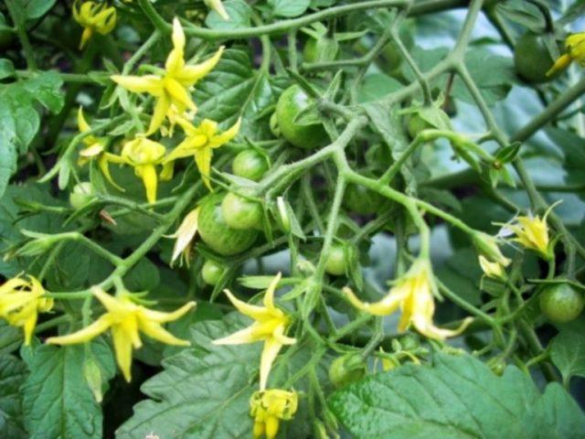 Подкормка томатов во время цветения: самые лучшие и проверенные способы