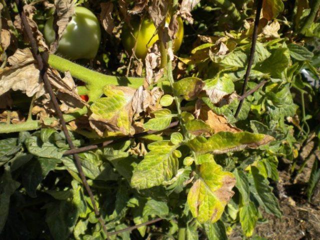 Желтеют листья томатов в открытом грунте: как определить и устранить причину