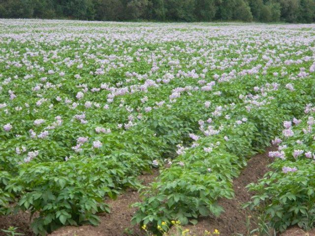 Как бороться с проволочником на картошке: самые действенные методы