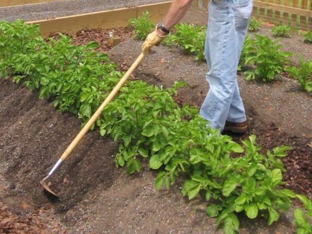 Замерзла ботва картофеля: что делать, как спасти урожай