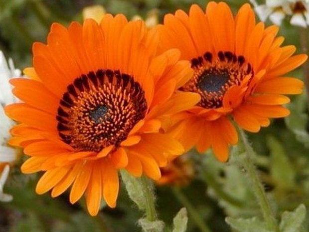 Выращивание венидиума: красавца с Южной Африки