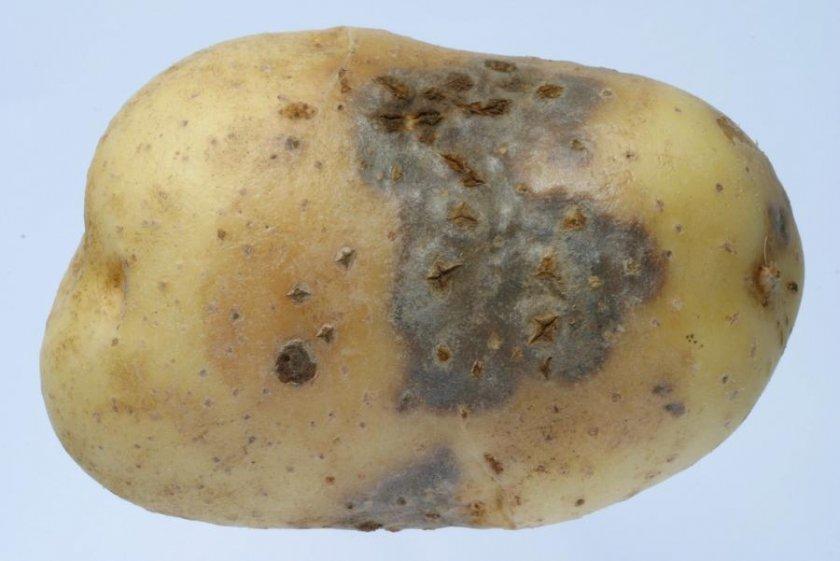 Кольцевая гниль картофеля: меры борьбы с бактериальным заболеванием, описание и лечение