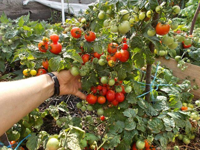 Выращивание томатов в теплице из поликарбоната: особенности и секреты