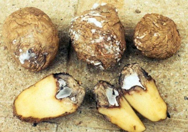 Болезни клубней картофеля: фото и методы лечения