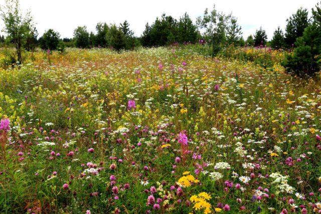 Как определить кислотность почвы по сорнякам: фото трав-индикаторов кислоты