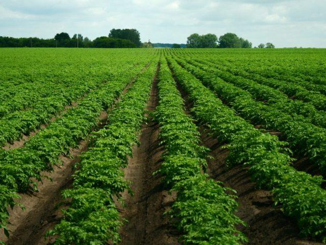 Гербициды от сорняков для картофеля: секреты выбора + самые популярные средства