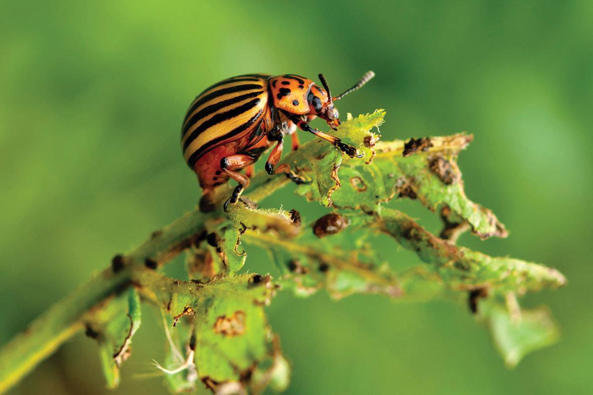 Народные средства от колорадского жука на картошке: обработка и защита
