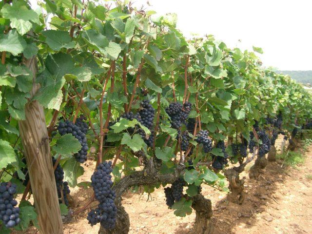 Фунгициды для винограда: системные, контактные и комплексные, правила обработки