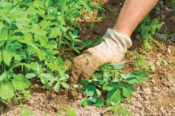 Сорняк американка: фото, как избавиться + советы огородников