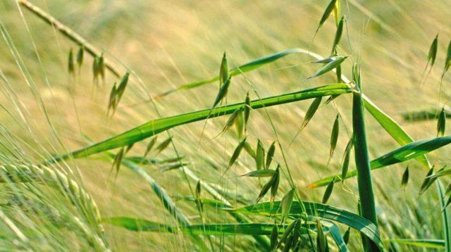 Многолетние и однолетние злаковые сорняки: перечень + эффективные меры борьбы