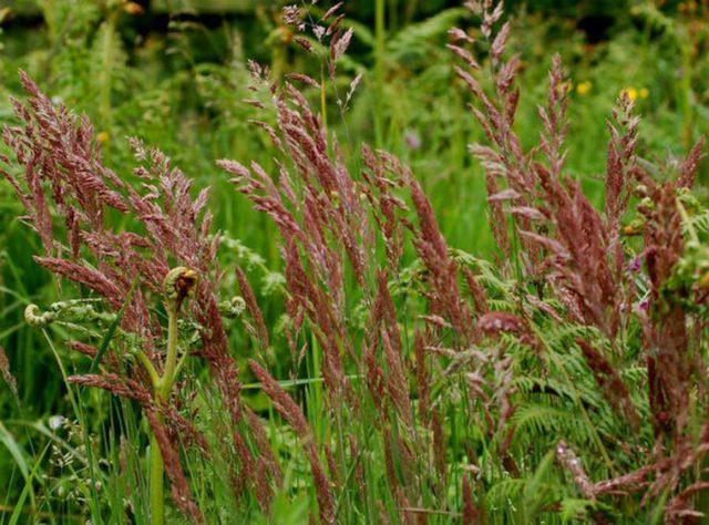 Газонная трава, которая уничтожает сорняки: виды + правила выращивания