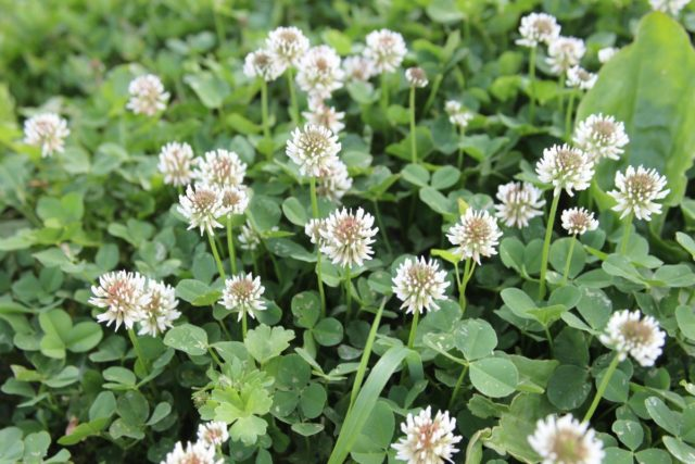 Средства от сорняков на газоне: лучшие гербициды   народные методы для идеальной лужайки
