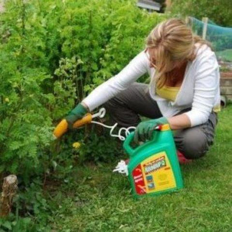 Как быстро и навсегда избавиться от сорняка березка на огороде