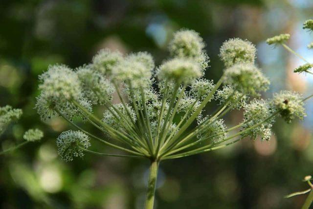 Как избавиться от борщевика навсегда: эффективные способы борьбы с сорняком на даче