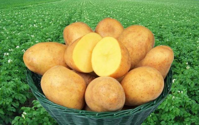 Альтернариоз картофеля: фото, описание и методы борьбы с болезнью