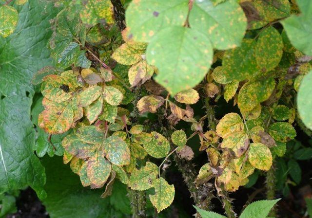 Фунгицид Фалькон – уникальный препарат для спасения урожая от грибковых болезней