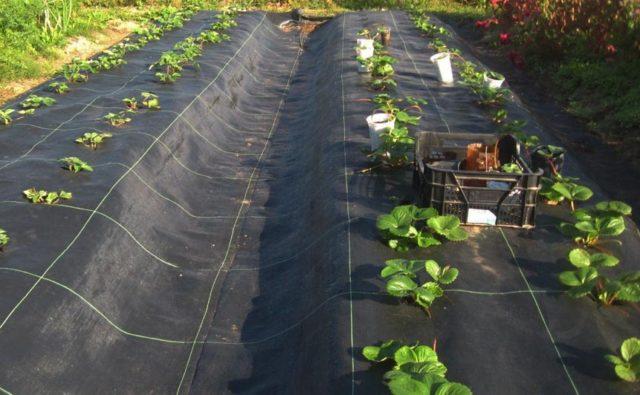 Осот огородный: фото, как быстро и навсегда вывести с участка + полезные советы