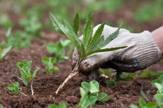 Однолетние и многолетние двудольные сорняки: перечень, фото, методы борьбы