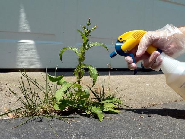 Осот (растение) – полезные свойства и применение осота. Осот полевой, огородный, розовый, желтый