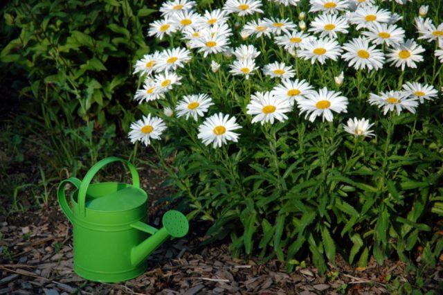 10 многолетников для сада, не требующих особого ухода