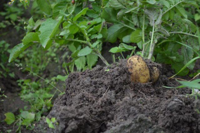Все секреты сбора урожая картофеля