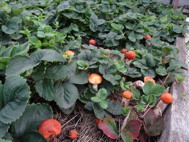 Посадка грибов на участке: все тонкости и секреты выращивания