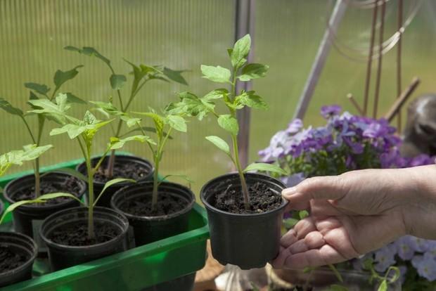 Уникальная методика посева томатов: все о подзимней посадке