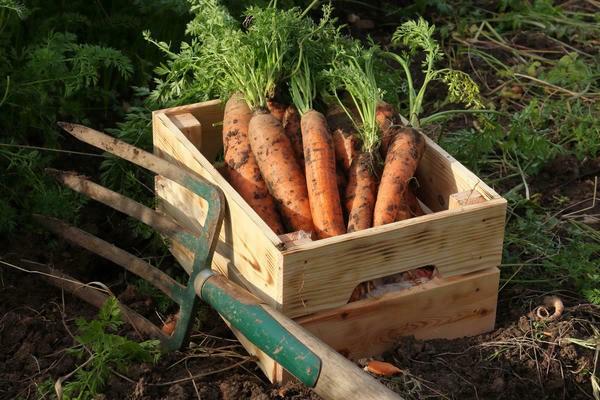 3 фактора, влияющие на сбор урожая моркови