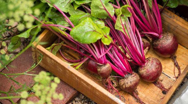 Сбор урожая свеклы: как понять, что овощ созрел