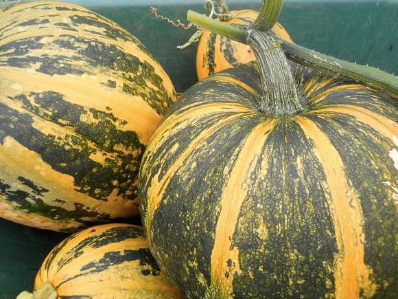 3 секрета хранения урожая тыквы