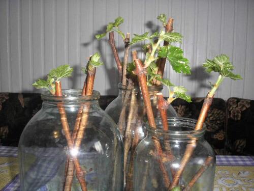 Как размножить смородину зимой