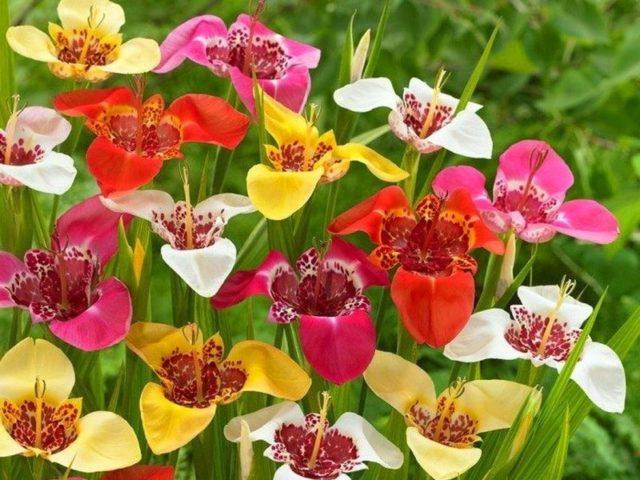 Прекрасные луковичные цветы, которые высаживают весной