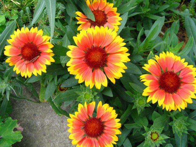 Какие многолетники порадуют цветением уже в первый год