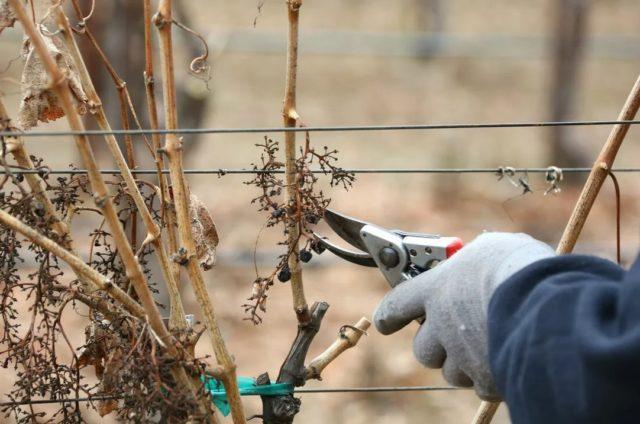 Зачем нужна осенняя обрезка винограда: этапы работ