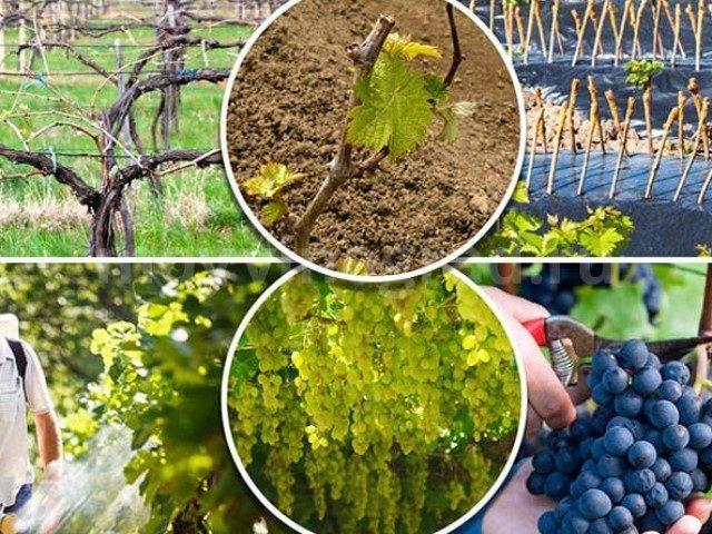 Чем обработать виноград осенью